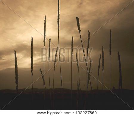 Grass, field grass. Evening sky. Monochrome landscape. Natural background. Steppe, steppe gruss. Steppe background.