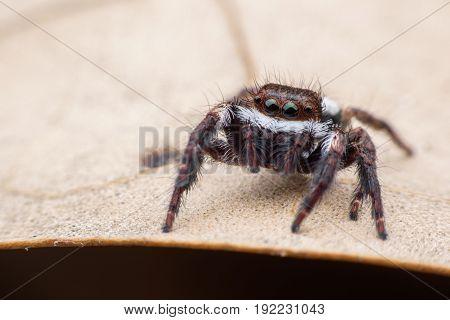 Super macro Jumping spider or Carrhotus viduus