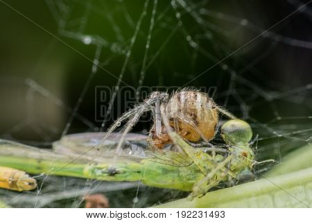 Spider caught damselfly in its nest by using spider web