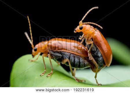 Cucumber or Cucurbit  beetle  mating on green leaf