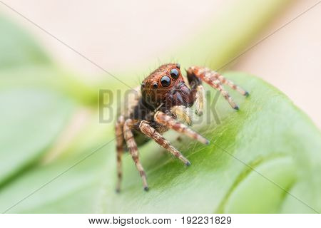Close up Jumping spider on green leaj