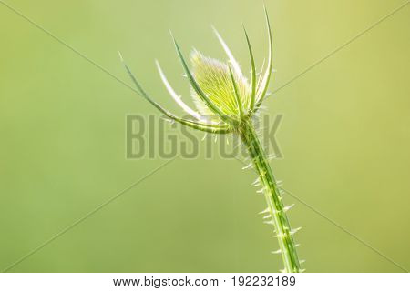 Beautiful Thorny Plant At Smooth Background In Summer