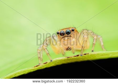 Close up Jumping spider on green leaf