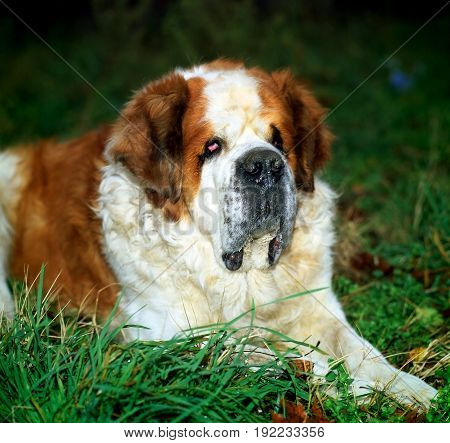 Beautiful dog san bernar brown camera canine