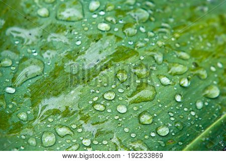 Texture of leaf with rain drops on its surface. Vegetation - the lungs of the planet. Background Dew on green grass macro.