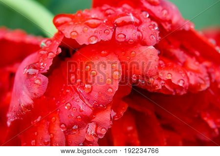 Red rose with rain drops macro. Lovely delicate flowers in the morning. Background Dew on grass macro.