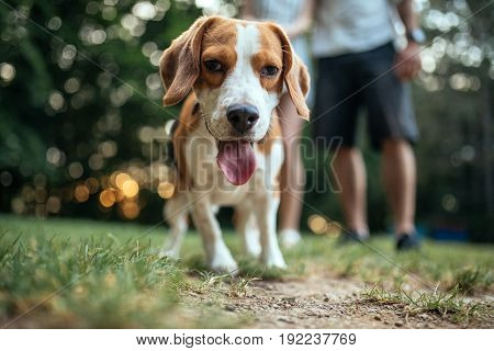 Portrait of a cute beagle outdoors in the park.