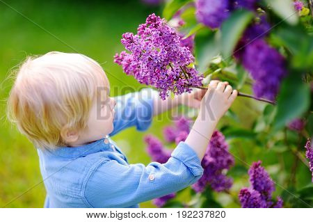 Cute Little Boy Enjoy Blooming Lilac In The Domestic Garden
