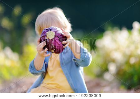 Little Boy Holding Fresh Organic Red Cabbage In Domestic Garden