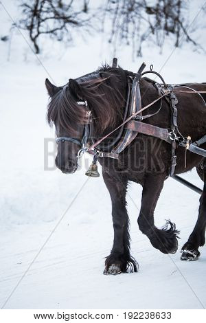 A Beautiful Brown Horse Pulling Sled In Winter