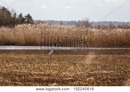 A Beautiful White Heron Standing On The Shore Of A Lake With Reeds