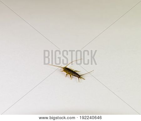 Silverfish On A White Sheet Of Paper. Pest Books And Newspapers. Insect Feeding On Paper - Silverfis