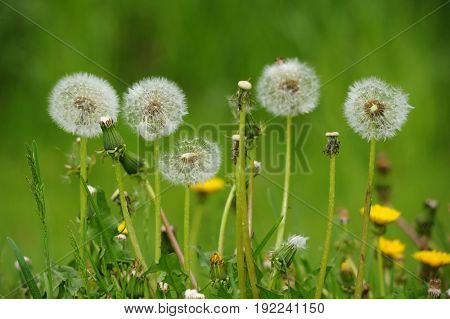 Image of dandelions in nature setting with soft background