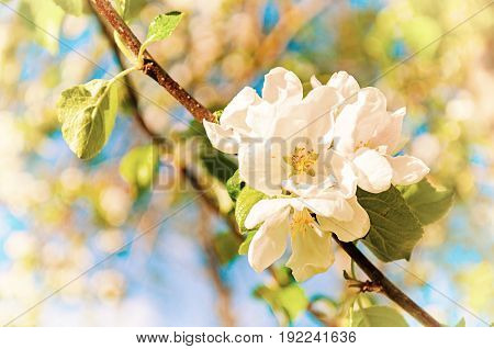 Spring background with flowers of spring blooming apple tree under spring sunlight, focus at the central apple spring flowers. Spring nature flower landscape. Spring colorful nature. Sunny spring nature