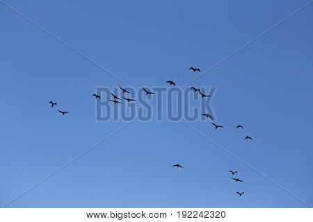 A Beautiful Flying Cormorants On The Blue Sky Background