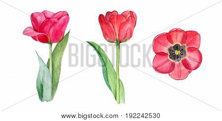 Botanical watercolor illustration sketch of three red tulips on white background. Could be used as decoration for web design, cosmetics design, package, textile