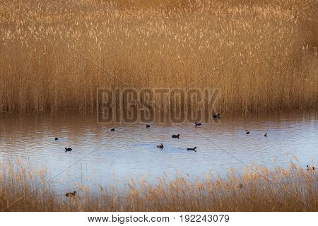 A Beautiful Eurasian Coots Swimming In A Lake With Reeds