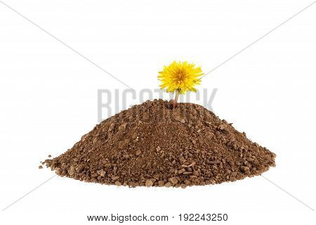Photo of a plant growing on a hill of clay isolated on a white background. Plants and gardening.