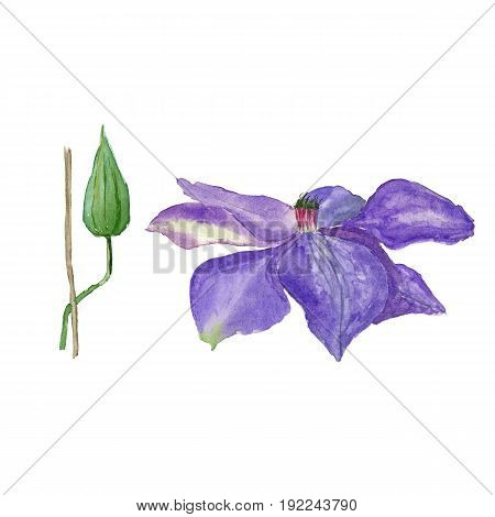 Botanical watercolor illustration sketch of blue clematis flower and a bud on white background. Could be used as decoration for web design, cosmetics design, package, textile