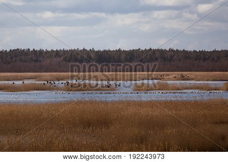 A Beautiful Early Spring Landscape With A Flying Flock Of Migratory Geese Over A Lake