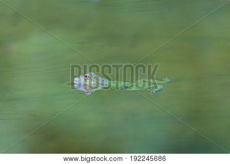 Natural Green Frog (rana Esculenta) Swimming In Green Water