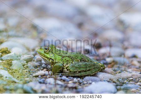 Natural Green Frog (rana Esculenta) Sitting On Stones