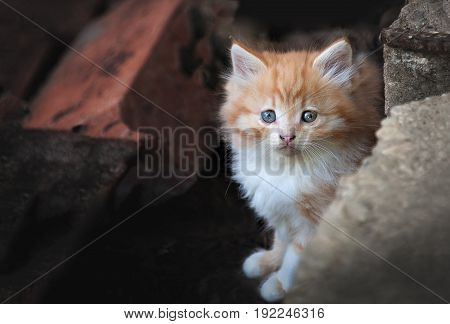 The little orange stray kitten hiding in the rocks from people. Looking at the camera close-up.