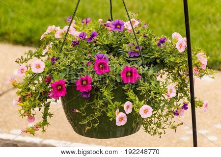a hanging basket of multi colored Calibrachoa