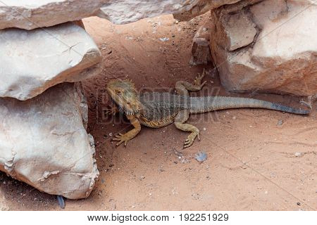 Lizard - Pogona vitticeps - Bearded Agama sits on ground at the Australian Zoo Gan Guru in Kibutz Nir David in Israel