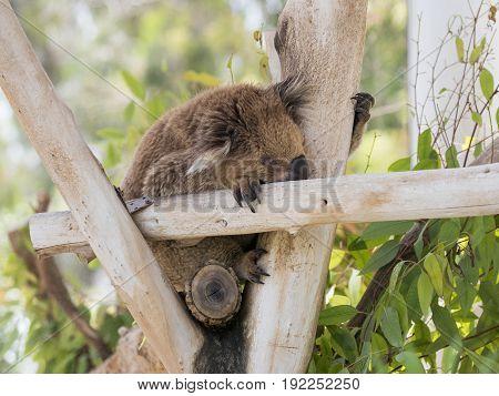 Koala sleeps on felled trees in Gan Guru kangaroo park in Kibutz Nir David in Israel