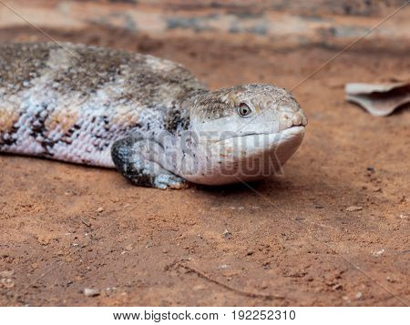 Lizard - Blue-tongued skinks - Australasian genus Tiliqua sits on ground at the Australian Zoo Gan Guru in Kibutz Nir David in Israel