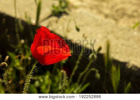 Single flower of wild red poppy on a concrete wall background with focus on flower
