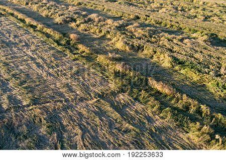Wheat Crop Flattened In Field