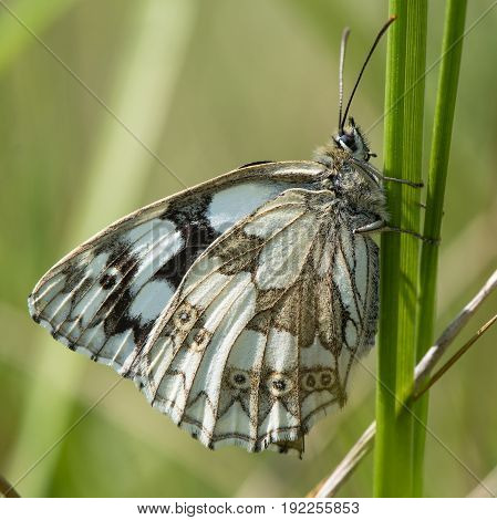 Marbled white butterfly (Melanargia galathea) on grass. Underside of black and white chequered butterfly in the family Nymphalidae at rest on grass