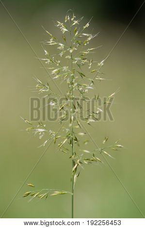 Yellow oat-grass (Trisetum flavescens) in flower. Inflorescence of perennial plant in the family Poaceae growing in British grassland