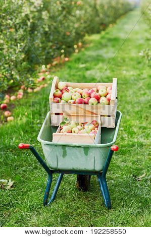 Wheelbarrow With Crates Of Red Apples On Farm