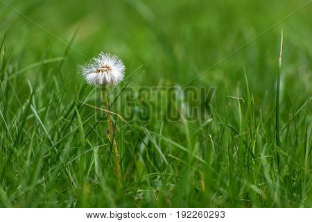 Beautiful floral decorative background with white fluffy dandelion flower close-up in green grass on a meadow