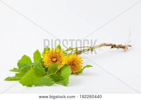 Common dandelion (Taraxacum officinale) on white background