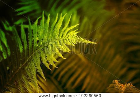 Fern. Abstract background of fern leaves. The texture of the fern. Selective focus. Soft focus.