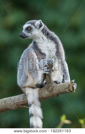 Ring-tailed Madagascar lemur at smooth background adult