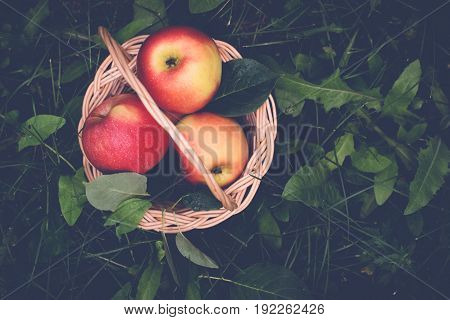 Ripe apples in a basket on the grass. Selective focus. Top view with copy space