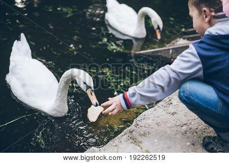 kid feeding swan with bread, swan in the lake