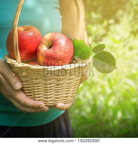 Basket of apples in female hands selective focus.
