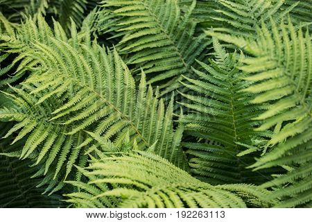 Fern. Abstract background of green fern leaves. The texture of the fern. Selective focus.