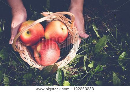 Basket of apples in female hands. Toned