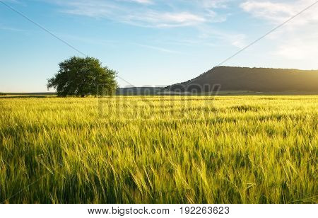 Field of wheat in the morning. Lonely tree in the meadow. Composition of nature