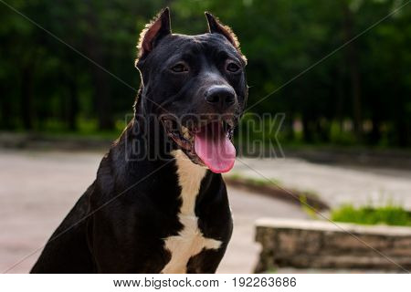 Horizontal portrait Black and white American pit bull terrier sitting and smiling with tongue in park