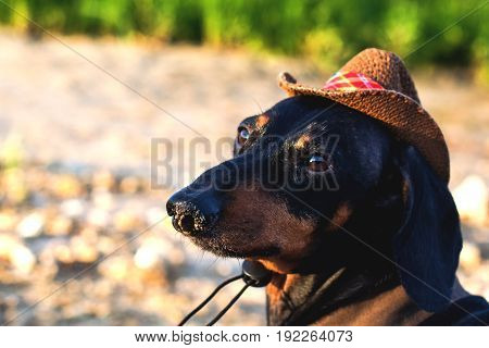 close up portrait of a dog (puppy) breed dachshund black and tan in a cowboy hat sits on a stone against a background of green hills