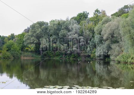 shore of the lake overgrown with willows
