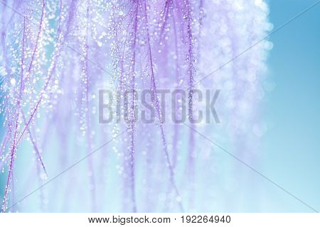 Purple feathers with small drops of water on a blue background. Very gentle and beautiful background of feathers. Macro feathers with water drops pastel shades. Selective focus.